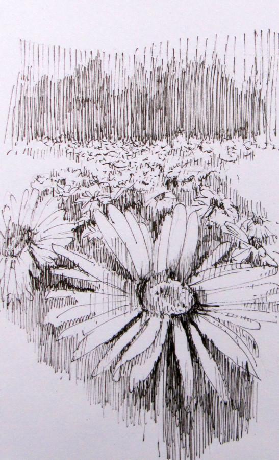 field of daisies ink