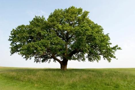 oak-tree-google